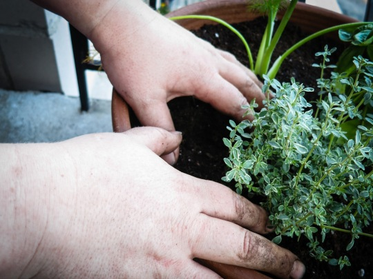 Dirty hands planting fresh green herbs in a planter