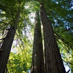 Looking up at three California redwood trees