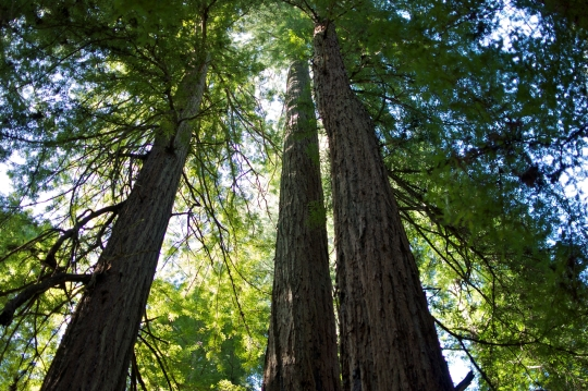 Looking up at three California redwood trees