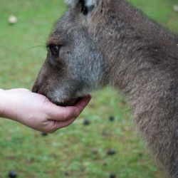 Wallaby eating from hand